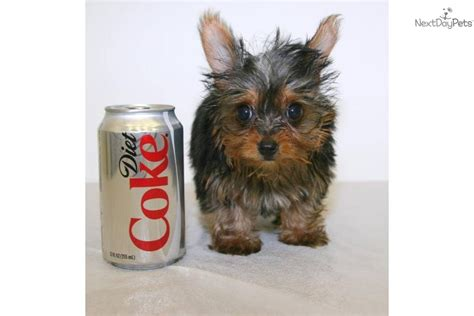 when will my yorkie be grown 5 pound grown teacup yorkie breeds picture