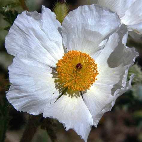 white poppy white poppy flower jpg