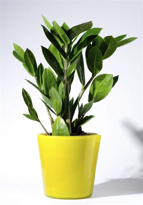 best indoor plants 65 best images about zamioculcas plants on pinterest