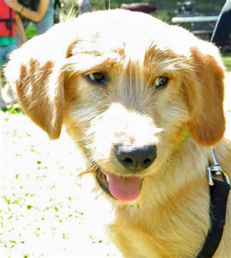 golden retriever boston terrier mix golden terrier images