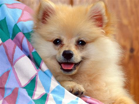 picture pomeranian pomeranians images pomeranian hd wallpaper and background photos 13711617