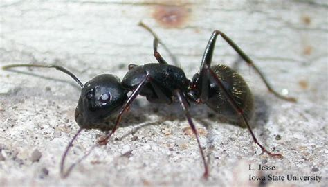 black ants in house carpenter ant plant and insect diagnostic clinic
