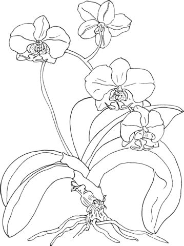 Phalaenopsis Or Moth Orchid Coloring Page Free Printable Orchid Coloring Pages