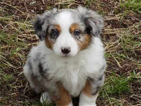 mini aussie puppies oregon mini aussie puppies eugene oregon 4k wallpapers