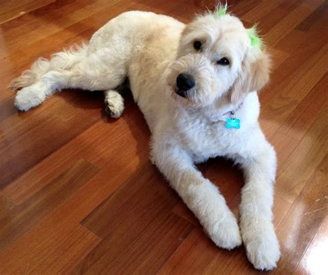 how to cut a goldendoodles hair 17 best images about goldendoodle on pinterest poodles