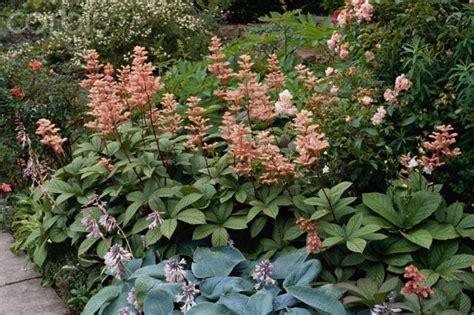 Flowers Nursery Online - rodgersia pinnata superba pr23 pr23 7 00 mauways