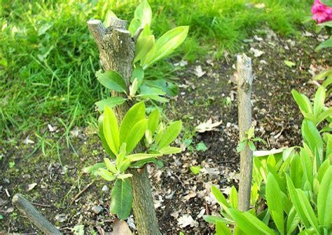 Schneiden Rhododendron by Rhododendron Schneiden Anleitung Zum R 252 Ckschnitt Total