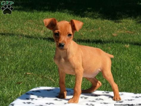 miniature pinscher puppies for sale in pa keystone puppies 8 curated miniature pinscher ideas by greenfieldpups fox