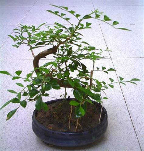 Bonsai Serisa 10759 Limited bonsai tree murraya id 1348201 product details view