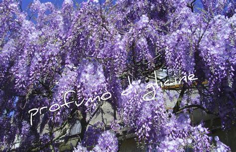 foto glicine in fiore fiori di glicine in tempura