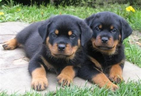 facts about rottweilers 10 interesting rottweiler facts my interesting facts