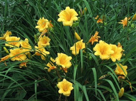 perennial shrub with yellow flowers landscapes powerhouse perennial in every