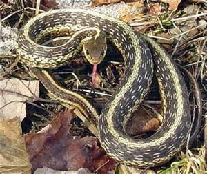 Garden Snake Maine Meditations On Snakes By Kristen Lindquist Rockland
