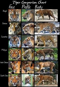 the adventure s of ralph all of the tigers and their differences
