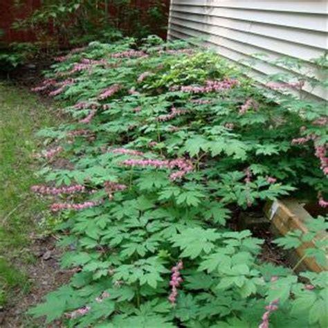 onlineplantcenter  gal  fashioned bleeding heart plant dcl  home depot
