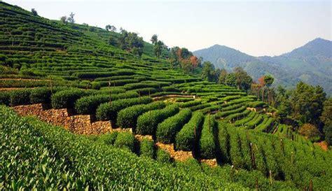 Teh Longjing 5 destinasi wisata rekomendasi di kota hangzhou