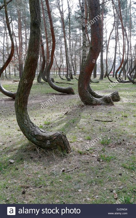 mysterious crooked forest in west pomerania poland crooked forest a photo from zachodniopomorskie west