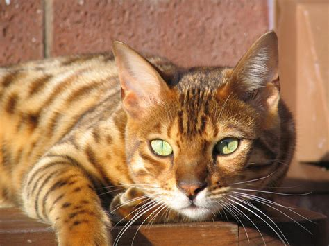 cat wallpaper for home bengal cat facts bengal cat world