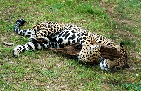 imagenes de jaguar animal jaguar meet and greet pico s weblog