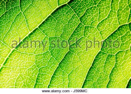 Leaf Outer green leaf texture with visible stomata covering the outer