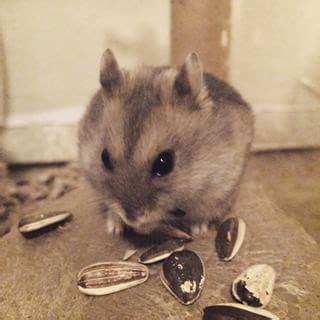 Pakan Hamster Biji Bunga Matahari Kuaci bingung pilih menu makanan untuk hamster baca ini