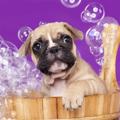 at what age can you bathe a puppy a guide to mess free bathing greenfield puppies