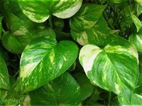vining house plants the golden pothos or devil s ivy and how to care for it house plants for you