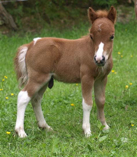 falabellas for sale sold falabella horses quality falabella horses for sale