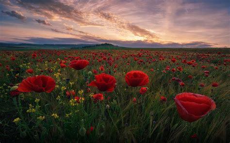 field  red poppies  green grass dark clouds sunset