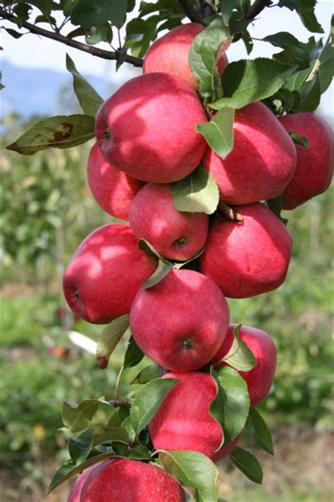 tropical fruit trees for sale uk easytree apple paradis 174 myra 174 for sale from lubera
