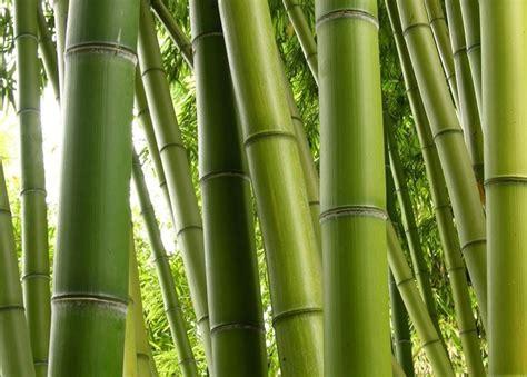 canne si鑒e canne di bambu piante da giardino caratteristiche