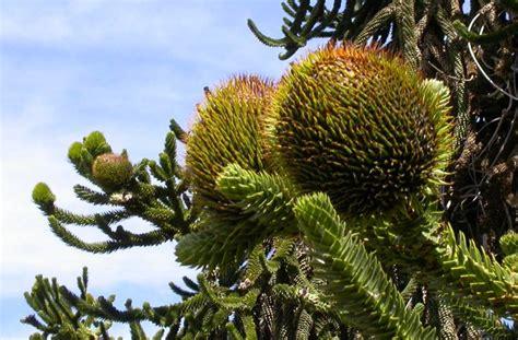 the monkey puzzle tree araucaria araucana the garden of - Monkey Puzzle Tree Fruit