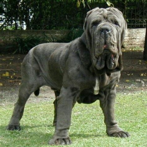 mastiff breeds 83 best images about neo mastiffs on
