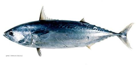 Alat Pancing Ikan Tuna Ikan Umpan Pada Alat Tangkap Rawai Tuna Aanblog