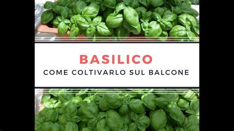 basilico in vaso come coltivare il basilico sul balcone