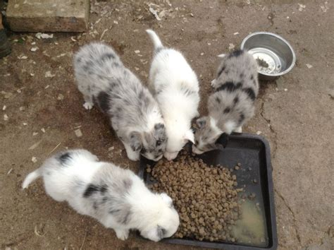 blue merle collie puppies for sale border collie blue merle pups for sale ready now breeds picture