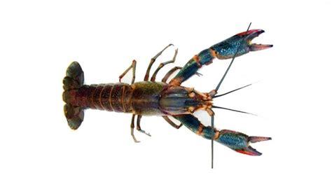 Jual Bibit Lobster Air Tawar Semarang jual ikan laut segar di jakarta jual ikan laut beku segar murah di jakarta