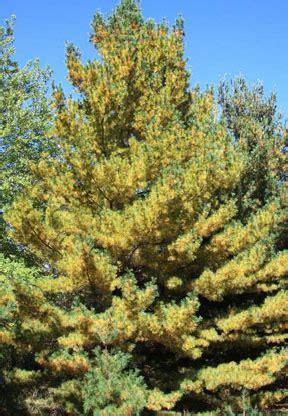 Pine Tree Shedding Needles by Fall Needle Drop A Phenomenon In Conifers Msu