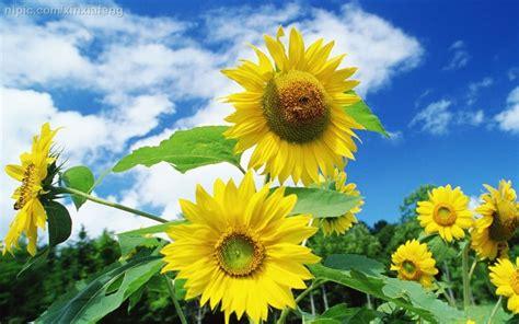 wallpaper hd bunga matahari 太阳花摄影图 花草 生物世界 摄影图库 昵图网nipic com