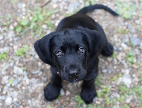 black lab puppies black lab puppy aww