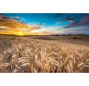 Wallpaper Field 4k HD Wheat Spikes Sky