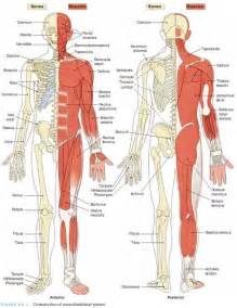 Body Muscles Anatomy » Home Design 2017