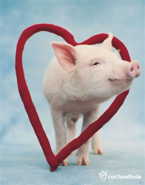 valentines pig 17 best images about s pets on