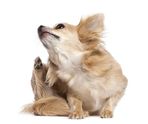 why do dogs scratch skin on dogs scratching causes lifetime damage health news