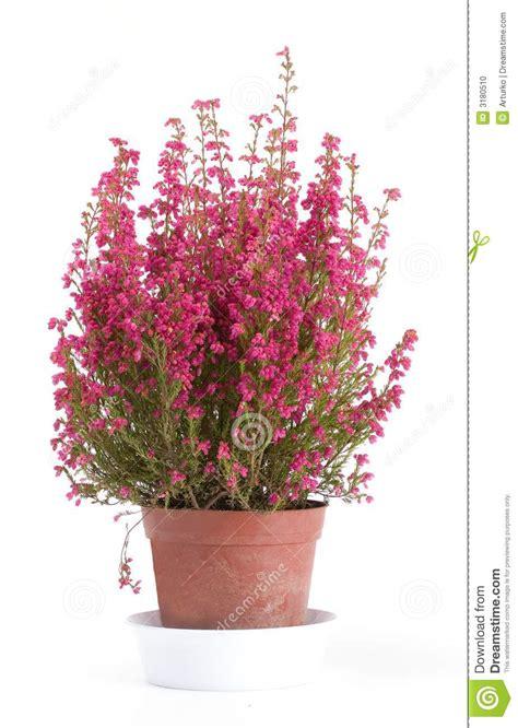 erica in vaso erica in vaso su bianco fotografia stock immagine 3180510