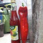 Benih Biji Cabe Sweet Italian Pepper Cabai Raksasa Jumbo benih paprika sweet italian 5 biji non retail bibitbunga
