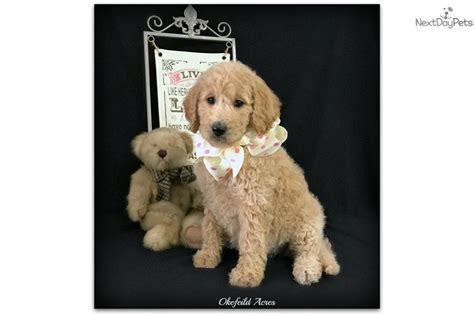 goldendoodle puppy dc bailey goldendoodle puppy for sale near springfield