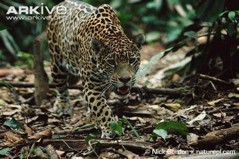 jaguars rainforest jaguars in the rainforest