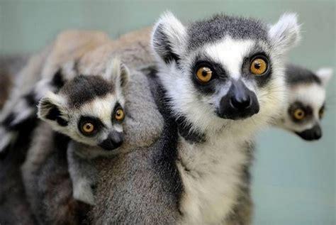 baby lemur cute baby animal pictures amazing creatures