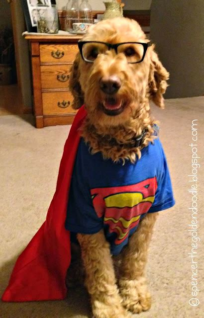 doodle costume spencer the goldendoodle wordless wednesday it s a bird